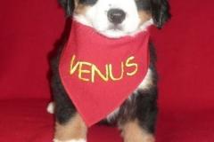 """Venus """"Szczęście Ty Moje"""""""