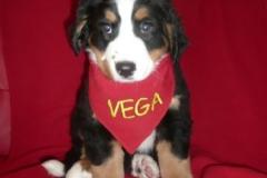 """Vega """"Szczęście Ty Moje"""""""